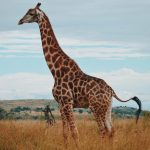 INTERNSHIP IN SOUTH AFRICA, Zebra
